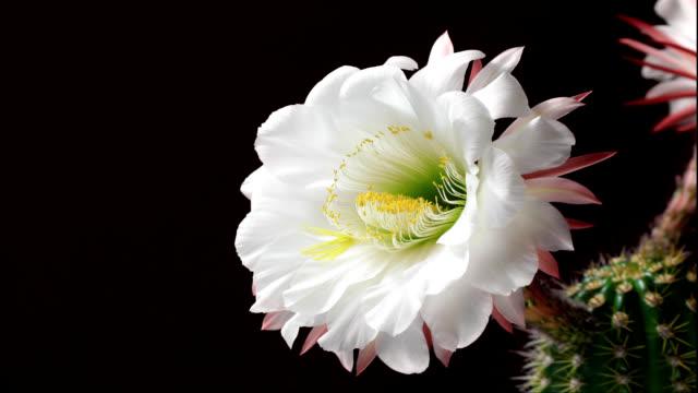 Torch Cactus Bloom