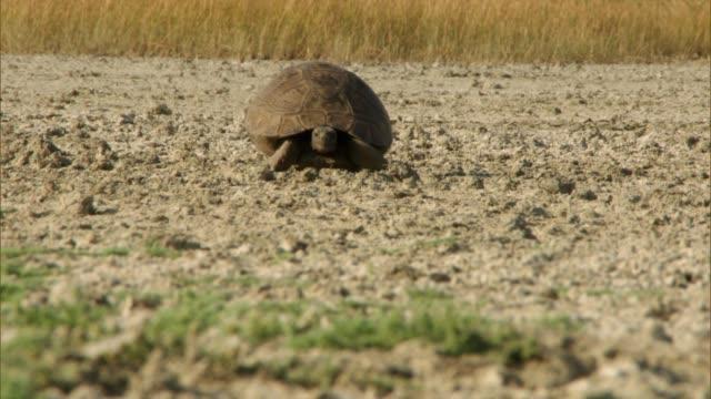 testuggine (testudines). una caratteristica distintiva delle tartarughe è il guscio, che consiste in due parti: il carapace e il plastron, e funge da principale difesa contro i nemici. - anfibio video stock e b–roll
