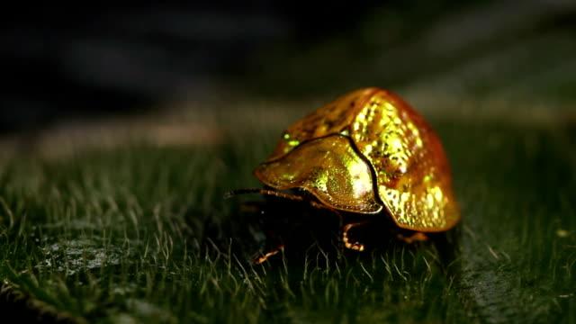 Tortoise beetle (family Chrysomelidae) video