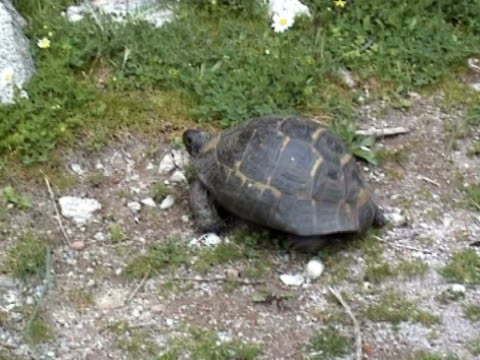 tortoise crawling video showing a  tortoise crawling tortoise shell stock videos & royalty-free footage