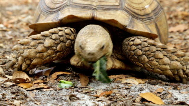 Tortoise eating and walking Tortoise eating and then walking off screen tortoise stock videos & royalty-free footage