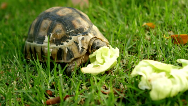 vídeos de stock e filmes b-roll de tortoise eating food in home yard 4k - crucíferas