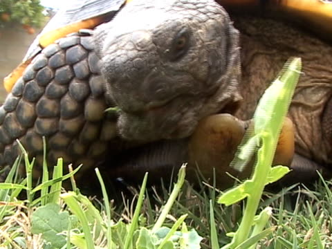Tortoise Eating Leaves Video close-up of a California Desert Tortoise eating plant leaves and grass with tongue showing.  tortoise stock videos & royalty-free footage