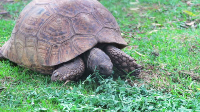 Tortoise eating leaves Tortoise eating leaves and sitting on grass tortoise shell stock videos & royalty-free footage