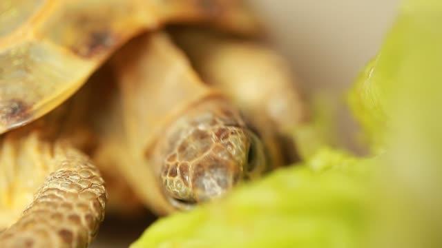 vidéos et rushes de tortue nourrit de feuilles de salade verte - tortue