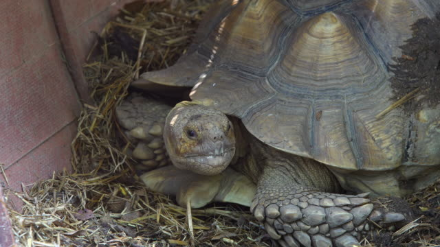 tortoise large and attractively marked tortoise large and attractively marked tortoise stock videos & royalty-free footage