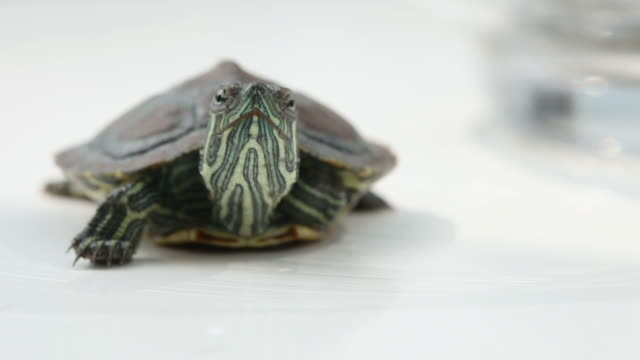 tortoise tortoise tortoise shell stock videos & royalty-free footage