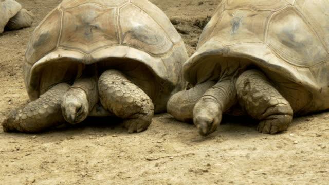 Tortoise A Galapagos giant tortoise tortoise shell stock videos & royalty-free footage