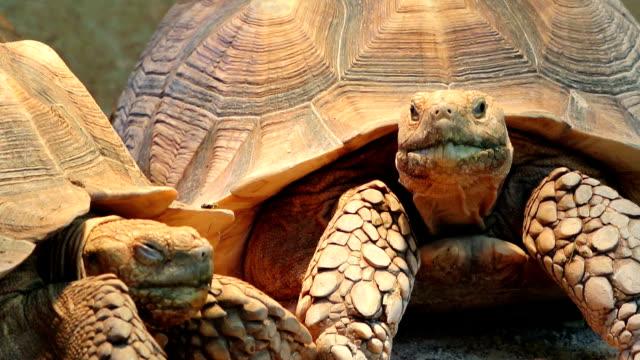 tortoise - żółw lądowy filmów i materiałów b-roll