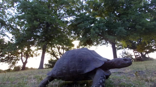 Tortoise walking across the grass A tortoise walks across the grass in the search of foof tortoise stock videos & royalty-free footage