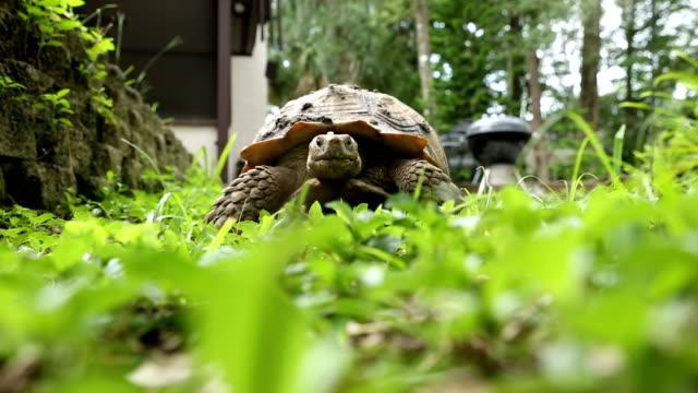 Andando na grama até câmera de tartaruga - vídeo