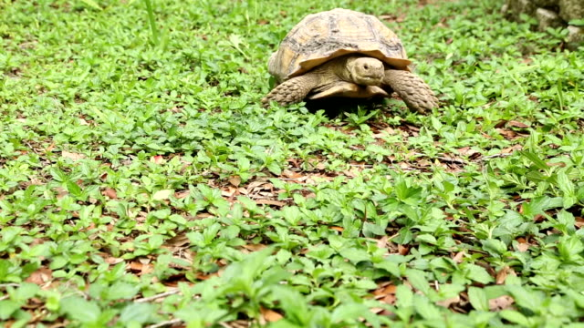 Tartaruga, caminhando para a direita - vídeo