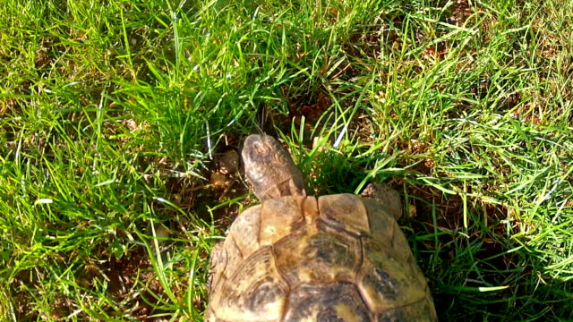 Tortoise walking over green grass, from above Tortoise walking over green grass. Close up view  from above, with camera attached to tortoise shell. tortoise stock videos & royalty-free footage