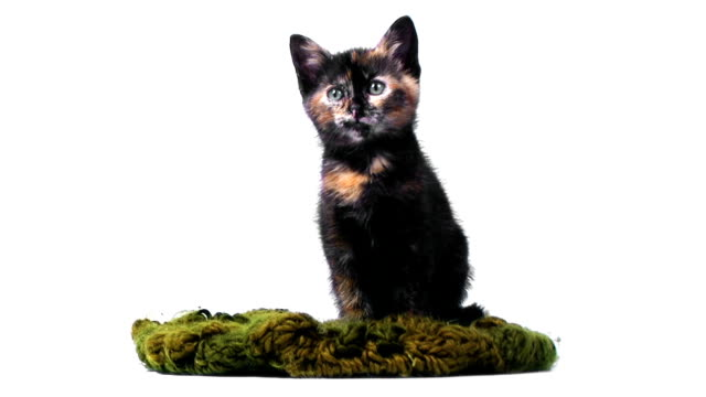 Tortoiseshell kitten (2 months) looking at the camera Tortoiseshell kitten (2 months) in front of a white background. tortoise shell stock videos & royalty-free footage