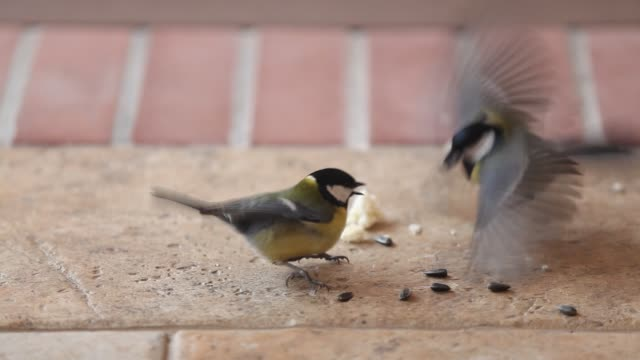 Torture quarrel. Tits take turns finding sunflower seeds video