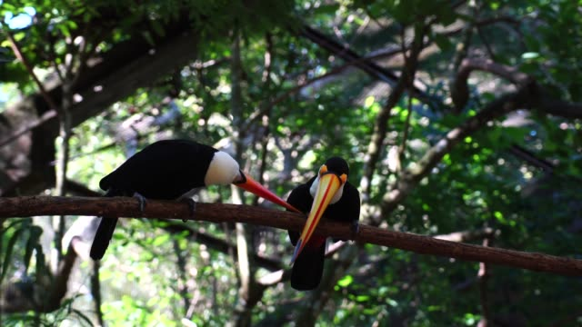 Toucan bird on the nature