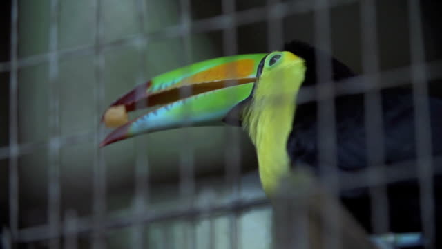 Toucan eating a mango video