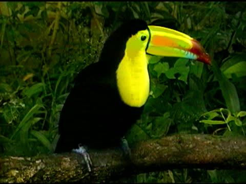 Toucan tropical bird - Medium close-up