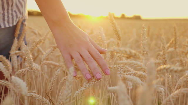 Touch the wheat spikelets at sunset. Female hand strokes mature spikelets, steadicam shot video