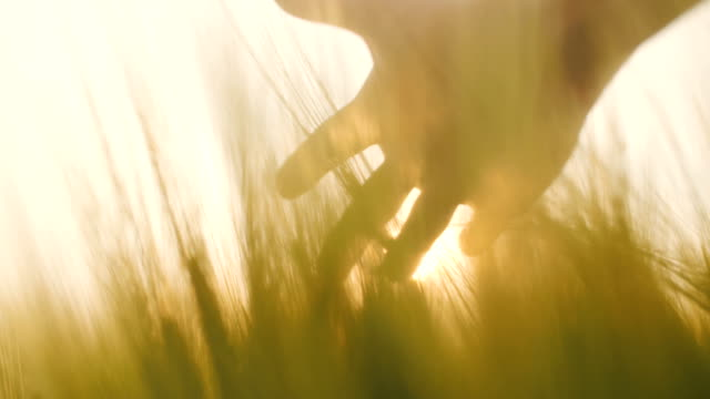 touching wheat crops 4k - farm animals stock videos and b-roll footage