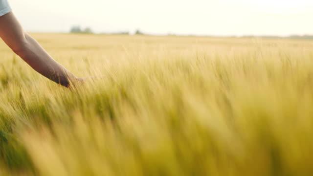 vidéos et rushes de contact avec les cultures de blé - seigle grain