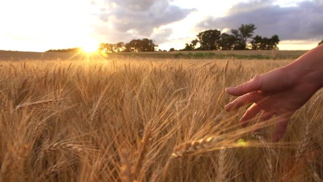 Touching Wheat video