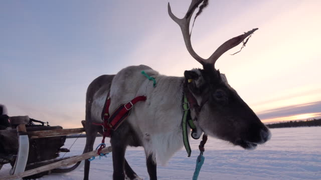 SLOW MOTION: Tourist girl on reindeer sledge ride in winter, Lapland, Finland video
