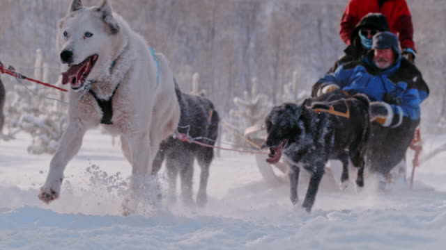 SLO MO Tourist having fun dog sledding in Norway Super slow motion shot of a group of tourists sitting on a sled pulled by group of sled dog somewhere in the country in Norway. purebred dog stock videos & royalty-free footage