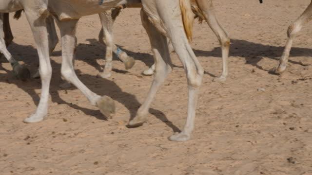 Touristen mit rittlings auf afrikanischen Kamele, niedrige Schnittansicht – Video
