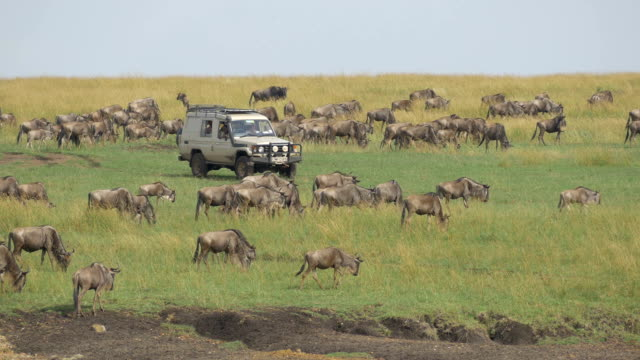 Tourists in safari jeep looking at great migration of wildebeest video