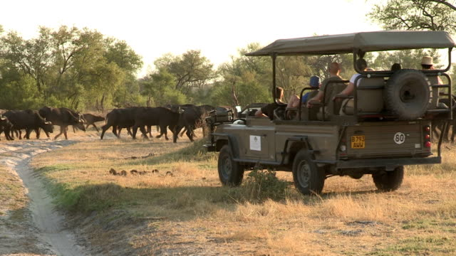 tourists on game drive safari vehicle looking at herd of buffalo,botswana - turism bildbanksvideor och videomaterial från bakom kulisserna