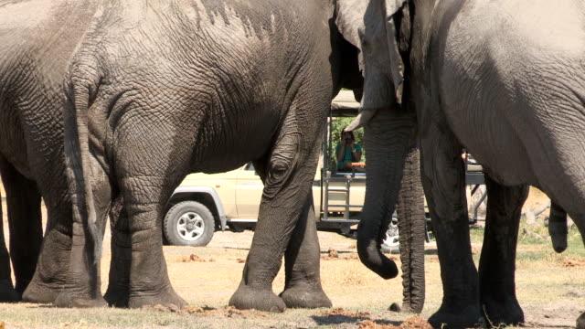 Tourists on safari vehicle looking at elephants video