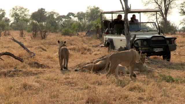 touristen auf safari fahrzeuge mit blick auf den lion stolz, botswana - großwild stock-videos und b-roll-filmmaterial