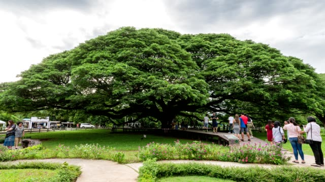 サマネアサマンやレインツリー最大の木を訪れる観光客 - 材木点の映像素材/bロール