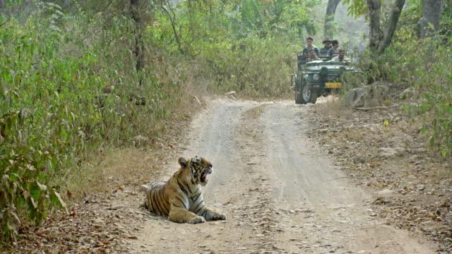 touristen beobachten einen tiger, der in einer waldstraße spazieren geht. - großwild stock-videos und b-roll-filmmaterial