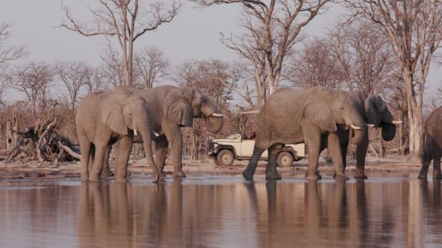 Tourists watching elephants in a 4x4 safari vehicle drinking at a waterhole, Okavango Delta, Botswana Tourists watching elephants in a 4x4 safari vehicle drinking at a waterhole, Okavango Delta, Botswana botswana stock videos & royalty-free footage