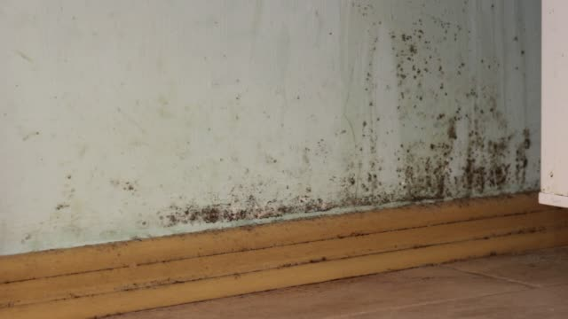 Toxic black mold in house on walls