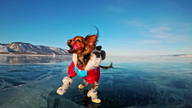 vídeos de stock e filmes b-roll de toy terrier in funny clothes and funny shoes plays with ball on beautiful ice in cracks. mom and daughter in sports clothes and figure skates. girls throw toy to dog. dog play game. - água parada