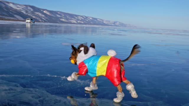 toy terrier in funny clothes and funny shoes plays with ball on beautiful ice in cracks. mom and daughter in sports clothes and figure skates. girls throw toy to dog. dog play game. - clima video stock e b–roll