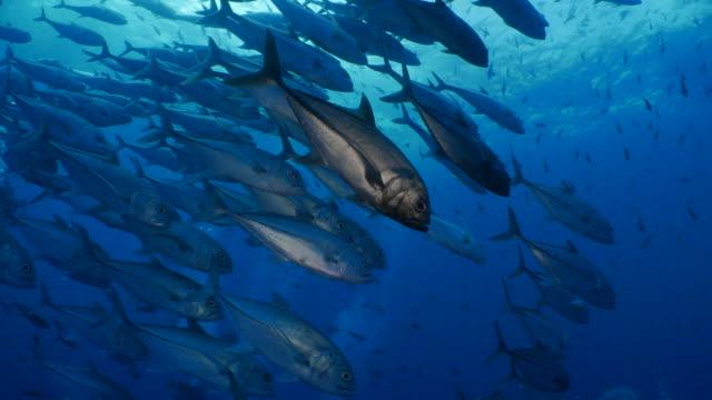 tracing a school of trevally jack fish undersea, darwin island - sotto video stock e b–roll