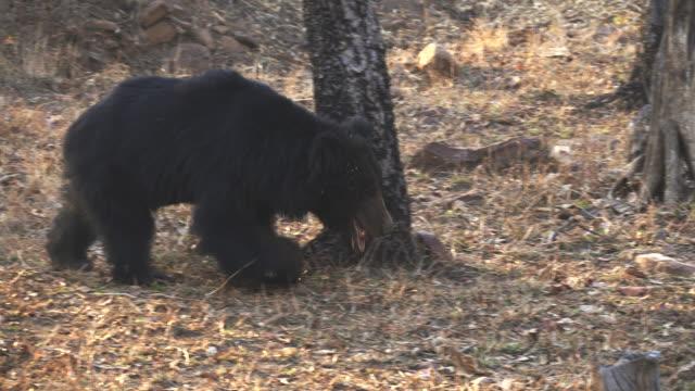 tracking clip of a sloth bear approaching at tadoba