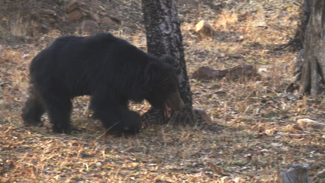 tracking clip of a sloth bear approaching at tadoba tracking clip of a sloth bear approaching at tadoba andhari tiger reserve in India bear stock videos & royalty-free footage