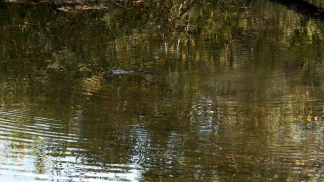 spårning skott av ett näbbdjur simma i en flod - platypus bildbanksvideor och videomaterial från bakom kulisserna