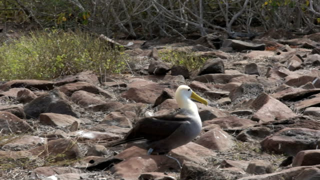 tracking shot of a waved albatross walking on isla espanola in the galapagos