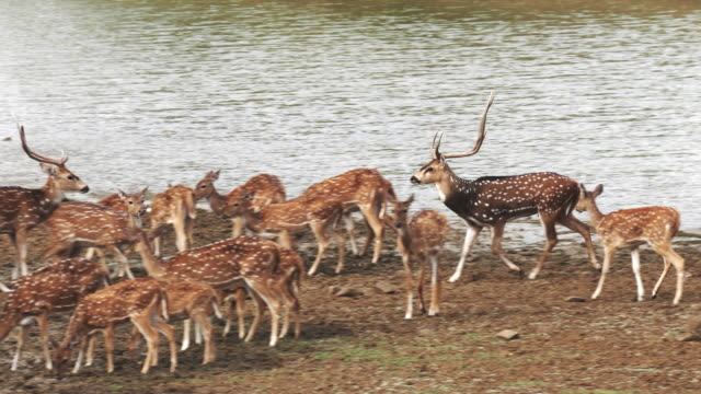 tracking shot of an axis deer stag at a waterhole in tadoba