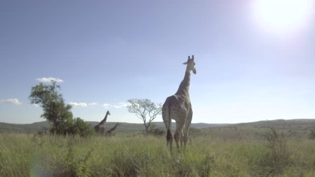Tracking shot of giraffe in the African savanna. video
