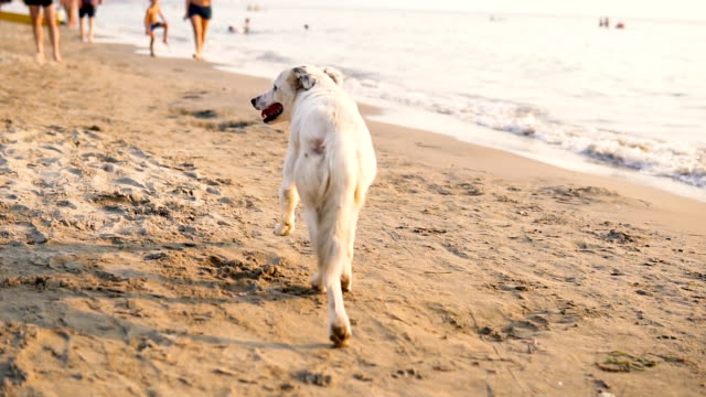 Tracking shot of happy Labrador running along the beach, SLOW MOTION