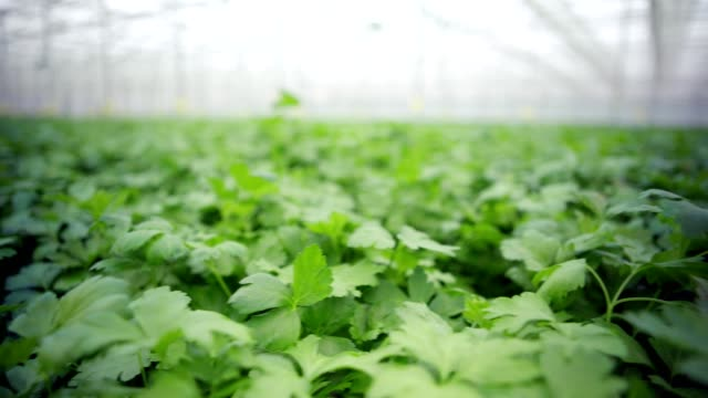 Tracking shot of organic parsley growing in abundance in large modern commercial greenhouse Tracking shot of organic parsley growing in abundance in large modern commercial greenhouse parsley stock videos & royalty-free footage