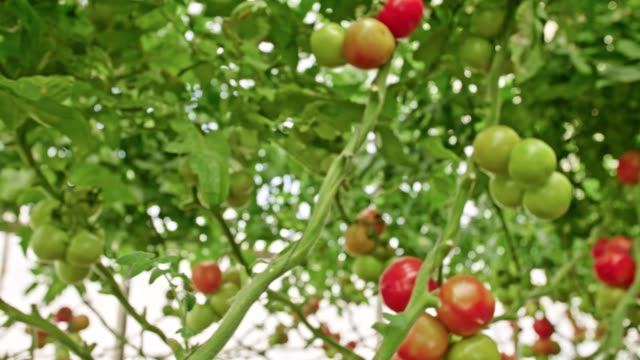 Tracking shot of Tomatoes in a greenhouse Tracking shot of Tomatoes in a large greenhouse hydroponics stock videos & royalty-free footage