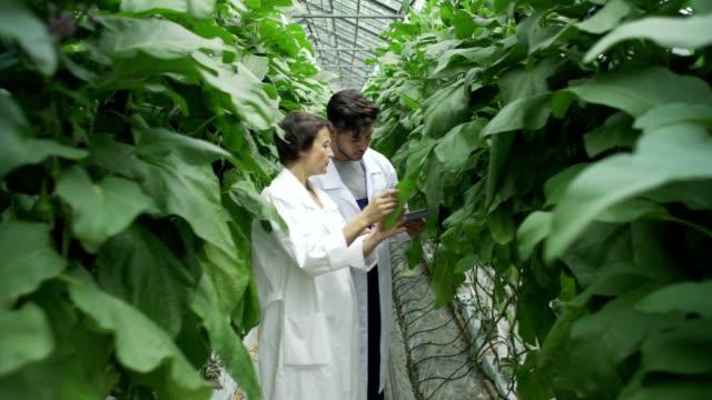 Kamerafahrt von Gemüsepflanzen wachsen in Zeilen in indoor Bauernhof Gewächshaus und zwei landwirtschaftliche Fachkräfte, Mann und Frau in weißen Kitteln mit Tablet-Computer untersuchen und Analysieren von grünen Blättern – Video